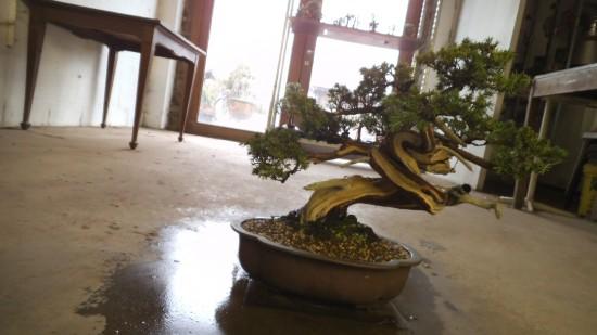 Juniperus Rigida Bonsai Center Ginkgo