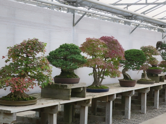 Bonsai Trees For Sale From Big To Small From Raw Material To Mature Bonsai Bonsai Center Ginkgo