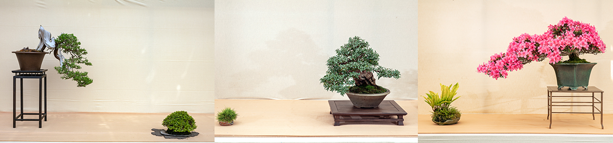 Bonsai Center Ginkgo